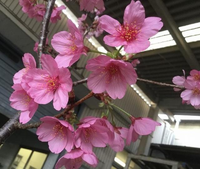 恒例のお花見を開催しましたの写真1